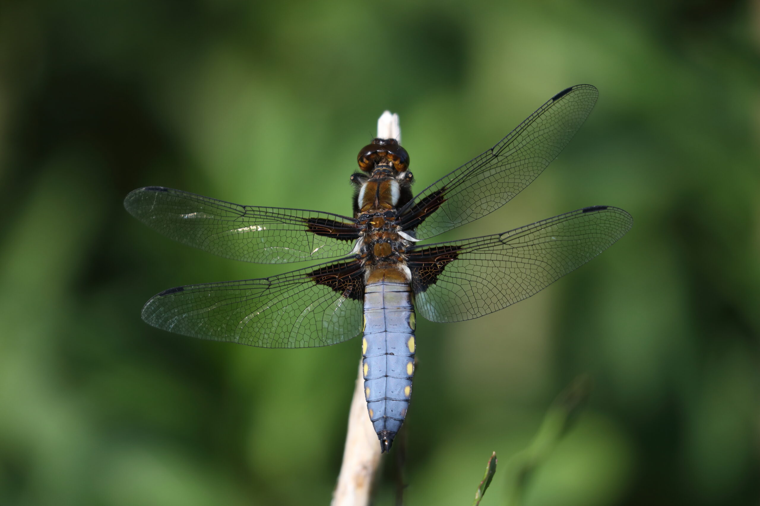 Broad-bodied-Chaser-M-11-BACT