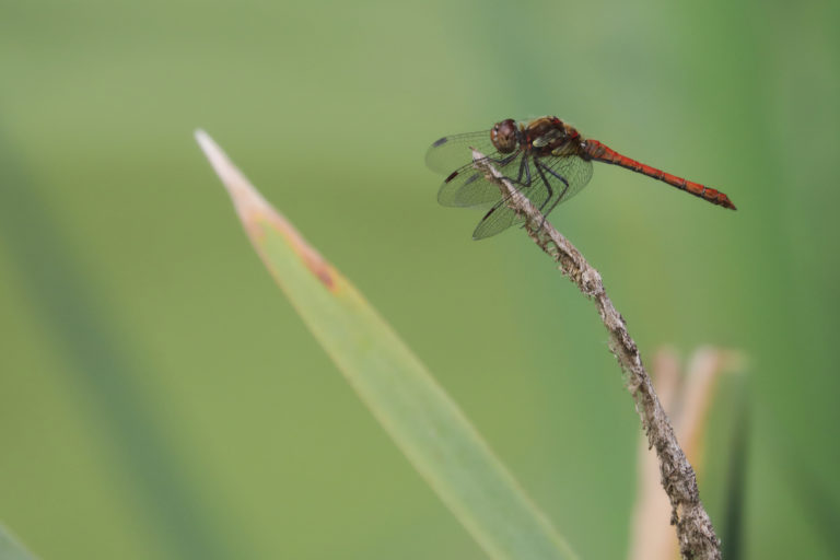 Common-Darter-M-3-BACT-768x512